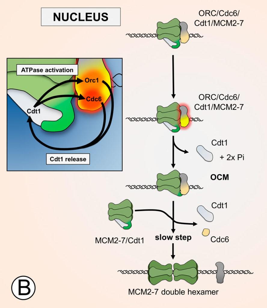 Mcm6-C terminus promotes ATP hydrolysis and facilites Cdt1 release