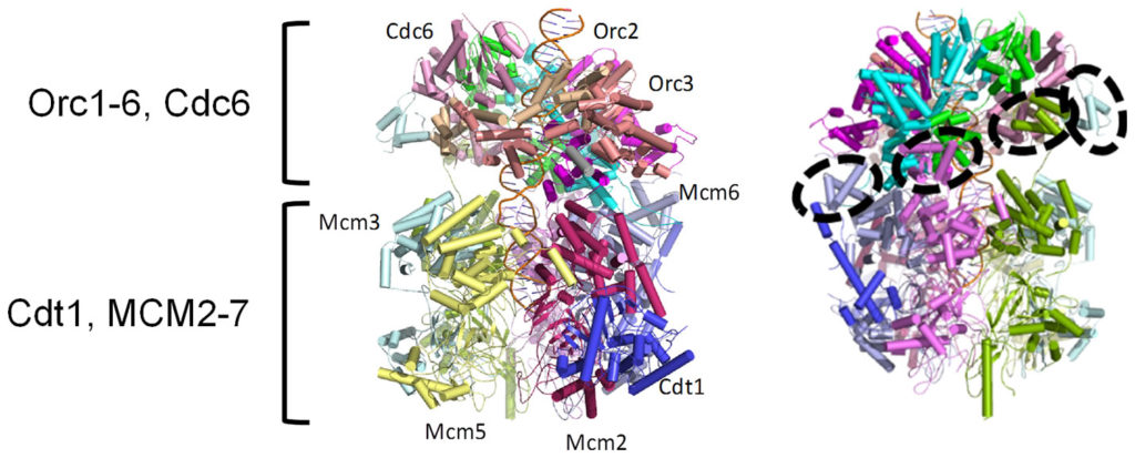 Cryo-EM reveals the structure of the ORC-Cdc6-Cdt1-MCM2-7 complex